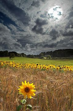 moody skies and sunflowers.    Finally found the photographer:  'Sunflowers at Arne' by Tony Gill on flickr!