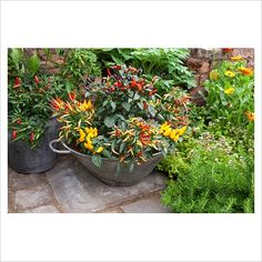 GAP Photos - Garden & Plant Picture Library - Chillies and herbs in containers - GAP Photos - Specialising in horticultural photography