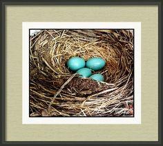 Robin's Egg Nest ~ Framed Print by Stephanie Forrer-Harbridge