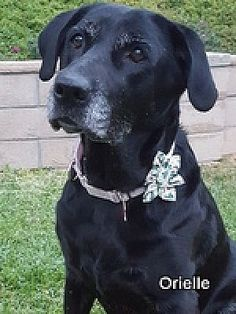 TORRANCE, CA - ORIELLE is a Labrador Retriever for adoption  who needs a loving home.