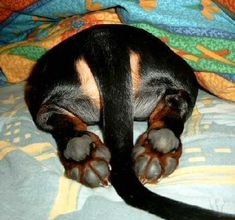 I usually dont pin dog's butts but this one is just too cute:) #Dachshund