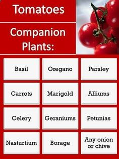Companion plants for tomatoes.. repel pests, beneficial to garden. Keep this on file, plus plan now for spring.