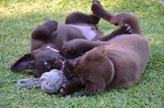 Puppies at play. Labrador Puppies, Labrador Retriever, All Dogs, Dogs And Puppies, Black Labs, Labradors, Cute Dogs, Cool Pictures, Cute Animals