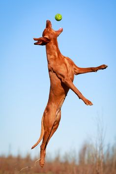 Vizsla Life - superior athleticism! #vizslalife #bluandred