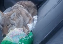 """Man hits 'dog' on Canadian highway doesn't realize it's a coyote A Canadian man who hit a dog with his car last week and brought it to safety was """"extremely surprised"""" to find out it wasn't a dog but a young coyote. Coyote Pup, Canadian Men, Husky Mix, Wildlife Conservation, Happy Dogs, Big Dogs, Animal Rescue, Automobile, Puppies"""