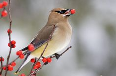 Every garden should have waxwings! With a little planning, you can bring in these gorgeous fliers with colorful fruit-bearing plants that attract birds.