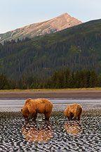 Brown Bear Landscape Pictures