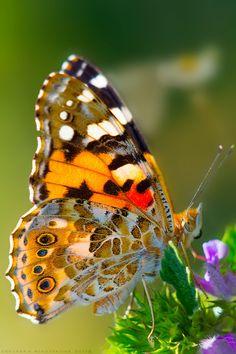#NYMPHALIDAE A felicidade é como a borboleta: quando a perseguimos nos escapa; quando desistimos de persegui-lá, pousa em nós. (Provérbio chines)