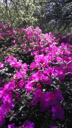 Huge Azaleas at the Japanese Garden in the Botanic Gardens of Fort Worth Texas