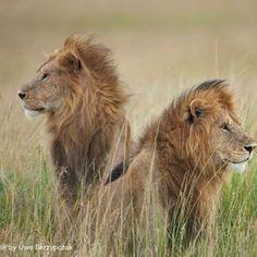 Marsh Pride Lions!!!! You want to see, you want to photograph? The new Photo-Safari & Workshop Kenya, 2014. http://www.serengeti-wildlife.com  #SAVESIMBA #serengetidiary #lions #savethelions #africa #serengeti #safari #wildlife #workshops #canon_cameras #canon #nikon #travelphotography