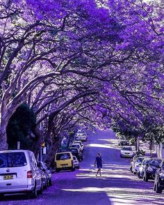 Jacaranda Tree Tunnel at McDougall Street, Milsons Point, Sydney — Photography by @peeramaytha