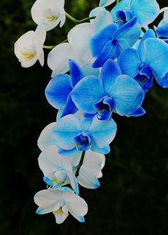 Gorgeous! Amazing colors! -'Blue Mystique' Moth Orchid