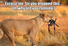 Funny lioness picture - http://jokideo.com/funny-lioness-picture/