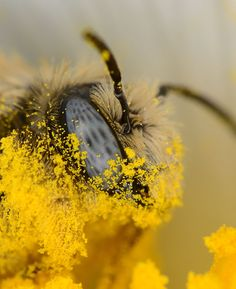 Pollen in your face! by nolra on DeviantArt Animals And Pets, Cute Animals, Photo Macro, Amazing Animals, I Love Bees, Bees And Wasps, Bee Friendly, Bee Art, Beautiful Bugs