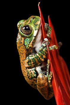 Peacock Tree Frog on a flower - With much much research I located a similar image.  I believe this is the photographer: Darren's' photostream