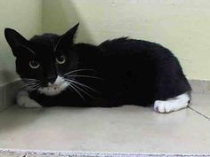 """NYC Sweet & Friendly Tita is TO BE DESTROYED Friday, 08-22-2014. SPECIAL PLEA From 'Shelter' Staff:  Shelter medical staff said this about TITA during her medical exam on Aug. 21: """"Very sweet cat, warmed up alot, rolls to side for attention purring very loud"""".THIS IS TITA'S 2nd and LAST CHANCE! ID #A1010824 Female about 5 YEARS old. https://www.facebook.com/nycurgentcats/photos/a.848432768508045.1073742406.220724831278845/848433218508000/?type=1&theater"""