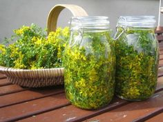 Making infused oil with fresh St John's Wort flowers Herbal Oil, Herbal Extracts, Healing Herbs, Health Facts, Alternative Medicine, Herbal Medicine, Healthy Choices, Herbalism, Mason Jars