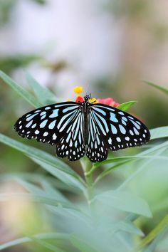 Ceylon Blue Glassy Tiger Butterfly