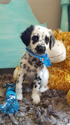 Long Haired Dalmatian Puppy For Sale : haired, dalmatian, puppy, Dalmatians, Ideas, Dalmatian,, Dalmatian, Puppy,