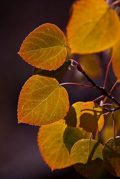 Aspen Leaves Turning. Love the shadows and the light halos