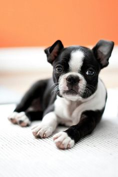 New obsession - boston terriers