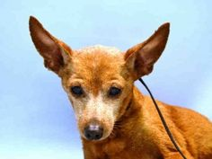 ★11/2/15 STILL THERE★FUNSHINE - A1056320★SENIOR ALERT!!★SUPER URGENT 10/29/15★Manhattan -  UNKNOWN GENDER, BROWN CHIHUAHUA SH MIX, 12 Yrs - STRAY - NO HOLD - Intake Date 10/29/15 Due Out 11/01/15