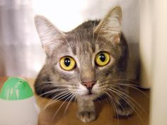 """ATKA - A1084608 - - Manhattan   **TO BE DESTROYED 08/22/16** """"Reaction to touch: Atka stands on her hind legs and head-butts vigorously. She is very affectionate throughout the interaction, continuously soliciting attention with her tail quivering."""" ATKA is a LACTATING MAMA CAT without her kittens, and she's still incredibly friendly according to her notes from the ACC—what a star! She earned a flawless BEGINNER rating, the best the ACC give out, but"""