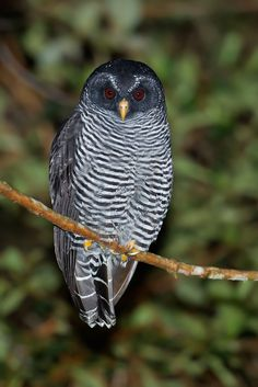 The Black-banded Owl is a species of owl in the Strigidae family. It is found in Argentina, Bolivia, Brazil, Colombia, Ecuador, French Guiana, Guyana, Paraguay, Peru, Suriname, and Venezuela  ●