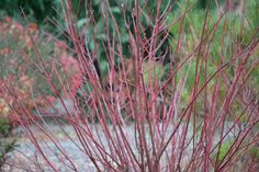 Where to find color in your garden in the dead of winter: Red Osier Dogwood http://blog.hgtvgardens.com/in-the-weeds-red-osier-dogwood-offers-color-in-the-dead-of-winter/?soc=pinterest