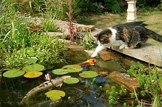 Cat trying to catch fish in a pond
