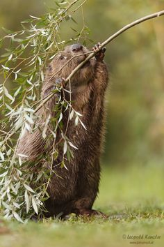 Beaver (forum for nature photographers) - beaver - Forest Animals, Farm Animals, Animals And Pets, Funny Animals, Cute Animals, Le Castor, Wild Life, Amazing Animals, Nature