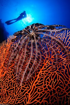 Photographer of the Week – Mike Veitch - A crinoid on a sea fan with a diver posing in the background, Layang Layang, Malaysia