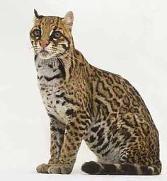 The ocelot has become a very rare animal because its forest habitat has been destroyed and also because it is hunted for its beautiful fur.