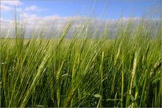 Korn    Feld    Ähren    Gerstenhalm    halme    Gerste    grün    Kornfeld    himmel    Grannen    Gerstenähre    Sommergerste    Gerstenfeld    wolken    Landwirtschaft    Felder & Landwirtschaft