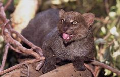 A jaguarundi is a Texas animal that has become endangered. They have a terrifying scream. Small Wild Cats, Big Cats, Cute Cats, Types Of Wild Cats, Kinds Of Cats, Rusty Spotted Cat, Wild Cat Species, Black Footed Cat, Leopard Cat