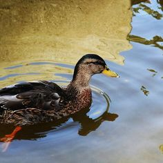 Duck swimming in a golden lake