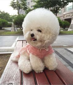 Fluffy: The bichon breed of dog is known for its short, curly hair, much like a poodle's