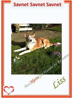 SAVNET : Vigrestad, Rogaland. (07.04.14). . NAVN : Liss. . .  RASE : Blandingshund. . .  FARGE : Lysebrun og hvit, korthåret. . .  KJØNN : Tispe. . .  ALDER : 5 år. . .  CHIP : Ja. . .  BÅND : Halsbånd. . .  OFFENTLIGE ETATER : Kontaktet. . .  HISTORIE : Forsvant fra Kyrkjevegen 437 ,4362 Vigrestad. Aldri stukket av før. Stort åpent landområde, ikke skog.   KONTAKT: Anders - 901 34 805 / Henriette 934 96 829  HJERTEkontakt: Lucia 992 68 386 / Anne-Gry 413 05 841. . .   #Rogaland#Savnethund Corgi, Animals, Pet Dogs, Animales, Animaux, Corgis, Animal, Animais