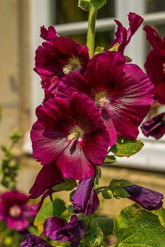 Beautiful Flowers Garden, Flowers Nature, Love Flowers, My Flower, Beautiful Gardens, Growing Hollyhocks, Hollyhocks Flowers, Exotic Plants, Cactus Plants