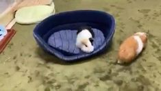 N Animals, Baby Animals Pictures, Cute Animal Pictures, Animal Jokes, Funny Animal Memes, Funny Animal Videos, Diy Guinea Pig Cage, Baby Guinea Pigs, Baby Animals Super Cute