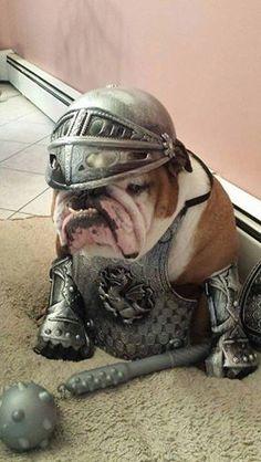Bulldog inglês medieval.
