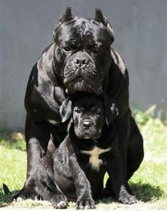 Dog Breeds Cane Corso - father and son - Presa Canario or Canarian dog is a race that is becoming more popular among dog lovers . Chien Cane Corso, Cane Corso Dog, Cane Corso Puppies, Cane Corso Italian Mastiff, Giant Dogs, Big Dogs, Cute Dogs, Dogs And Puppies, Funny Dogs
