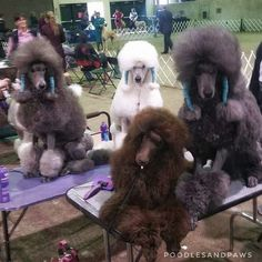 Not the clearest shot but couldn't help but post. I think maybe only a poodle person could understand the work behind this picture. Hundreds of hours of bathing & brushing. 4 colors of my breed represented. Prada (silver) Lynard (white) Danielle (brown) Maddie (blue)