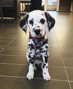 This reminds me i need to read 101 Dalmatian again. I dont care how o. This reminds me i need to read 101 Dalmatian again. I dont care how old I am that boom i - Cute Dogs And Puppies, Baby Dogs, I Love Dogs, Doggies, Corgi Puppies, Beagle, Adorable Puppies, Pet Dogs, Baby Animals Pictures