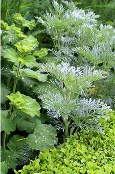 Artemisia 'Powis castle' and Alchemilla mollis edged with low clipped Buxus hedge