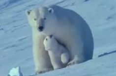 Polar Bear Cub Twin polar bear cubs are born in a den which their mother digs in a snow drift; Arctic Animals, Cute Animals, Polar Bears Endangered, Save The Polar Bears, Bear Gif, Unlikely Friends, Dangerous Animals, Movies To Watch Free, White Wolf