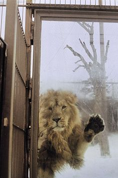 lone lion longing