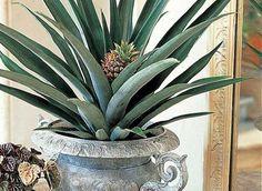 Bouture originale, un ananas comme plante d'intérieur