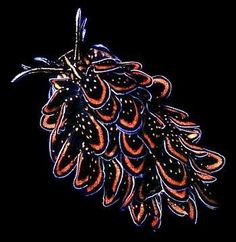 Cyerce nigricans is a species of 'sap sucking', shell-less sea slug which 'sucks up' the cellular contents of algae. (Unlike some members of sea slugs which incorporate the chloroplasts of the algae into their own tissues, these do not. Beautiful Sea Creatures, Deep Sea Creatures, Animals Beautiful, Underwater Creatures, Underwater Life, Sea Snail, Sea Slug, Water Animals, Interesting Animals