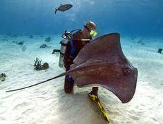 Aquatic Life, #wild #stingray